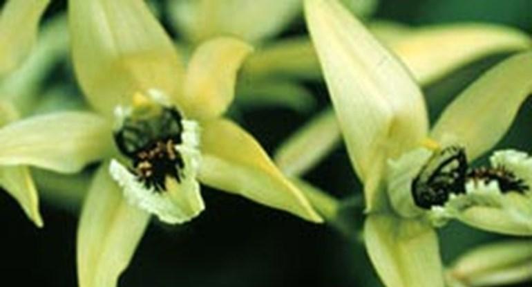 orchidee_schwarz_coelogynepandurata_270x146.jpg