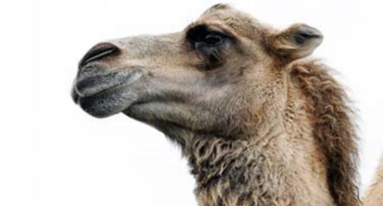 Lac-cameli-dromedari_camelmilch_375x202.jpg