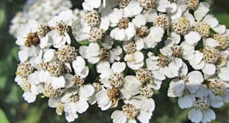 Achillea-millefolium-kaufen_375.jpg