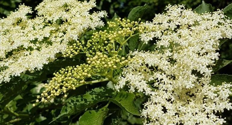sambucus-nigra-holunder_750.jpg