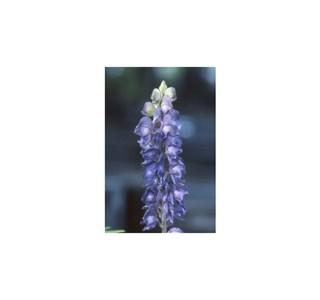 Aconitum-napellus-Globuli