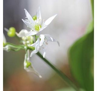 Allium-ursinum-Globuli