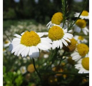 Chamaemelum-nobile-Globuli
