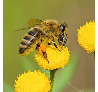 Apis-mellifica-honigbiene-Globuli