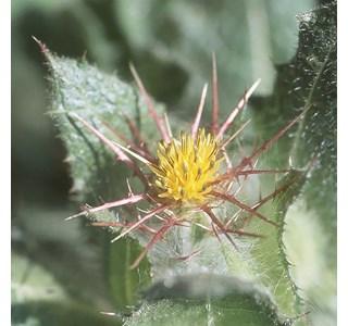 Carduus-benedictus-Globuli