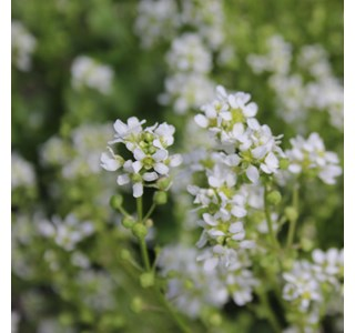 Cochlearia-officinalis-Globuli