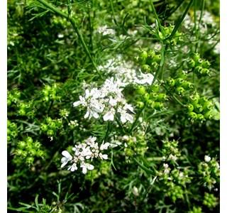 Coriandrum-sativum-Globuli