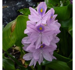 Eichhornia-crassipes-Globuli