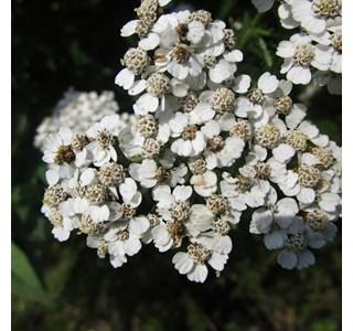 Achillea-millefolium-Globuli