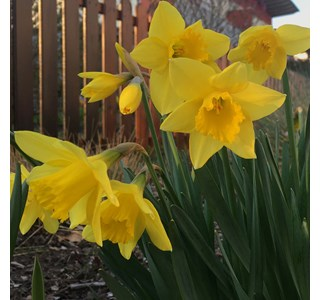 Narcissus-pseudonarcissus-Globuli