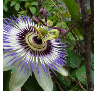 Passiflora-incarnata-Globuli