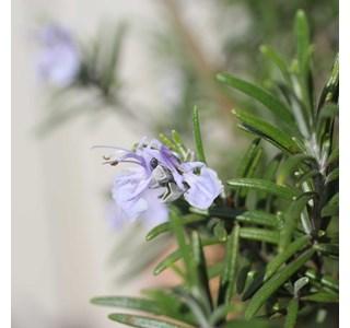 Rosmarinus-officinalis-Globuli