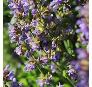 Salvia-officinalis-Globuli