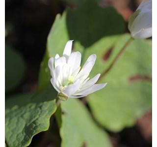 Sanguinaria-canadensis-Globuli