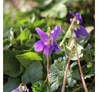 Viola-odorata-Globuli