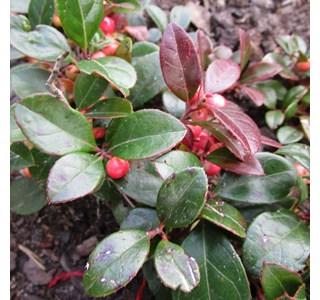 Gaultheria-procumbens-Globuli