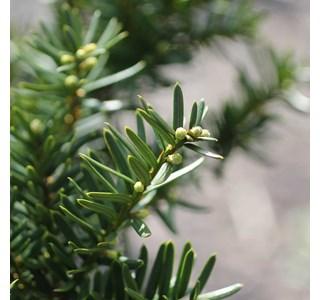 Taxus-brevifolia-Globuli