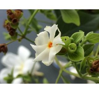 Nyctanthes-arbor-tristis-Globuli