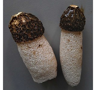 Phallus-impudicus-Globuli