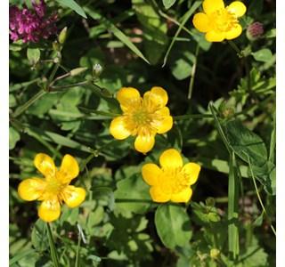 Ranunculus-acris-scharfer-hahnenfuss-Globuli