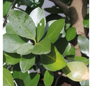 Corynocarpus-laevigatus-Globuli