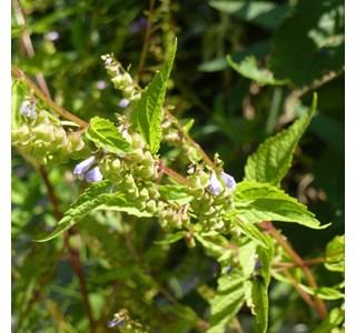 Scutellaria-lateriflora-Globuli