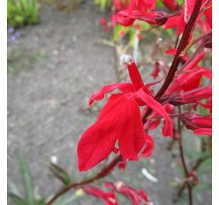 Lobelia-cardinalis-Globuli