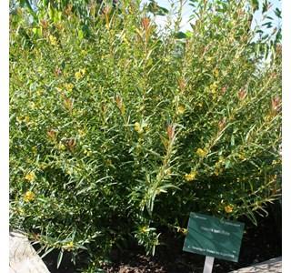 Heimia-salicifolia-Globuli