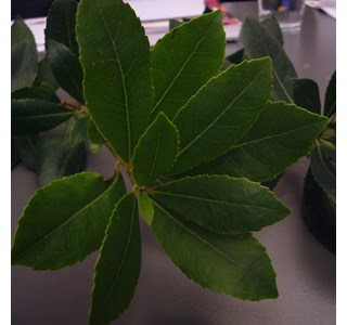 Arbutus-andrachne-Globuli
