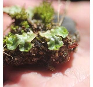 Marchantia-polymorpha-Globuli