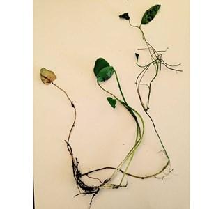 Ranunculus-flammula-Globuli