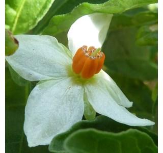 Solanum-pseudocapsicum-Globuli