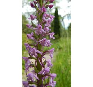 Gymnadenia-conopsea-Globuli