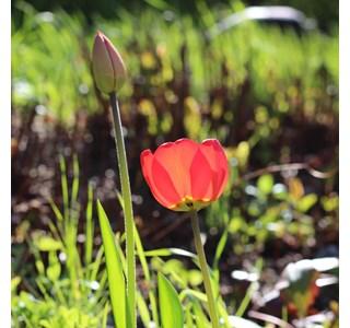 Tulipan pulchra Globuli kaufen