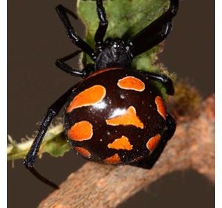 Latrodectus-tridecimguttatus-Globuli