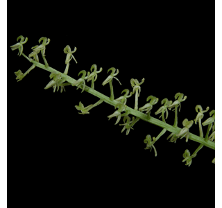 Liparis viridiflora Globuli kaufen