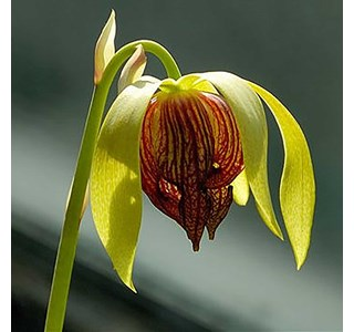 Darlingtonia-californica-Globuli