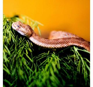 Crotalus-mitchelli-mitchelli-Globuli