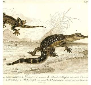 Alligator-mississippiensis-Globuli