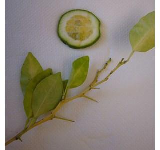 Citrus-bergamia-Globuli