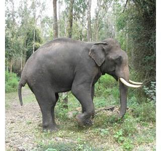 Lac-elephas-maximus-Globuli