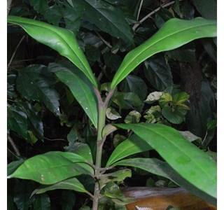 Garcinia-xanthochymus-Globuli