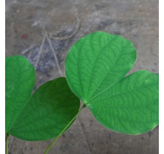 Bauhinia-acuminata-Globuli