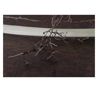 Beaucarnea-recurvata-Globuli