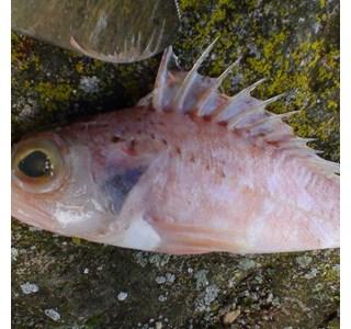 Scorpaena-scrofa-Globuli
