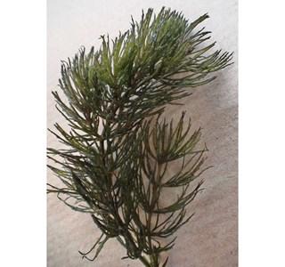 Ceratophyllum-demersum-Globuli