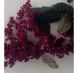 Amaranthus-cruentus-Globuli