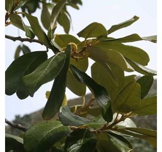 Kiggelaria-africana-Globuli