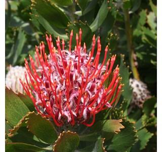Leucadendron-uliginosum-Globuli