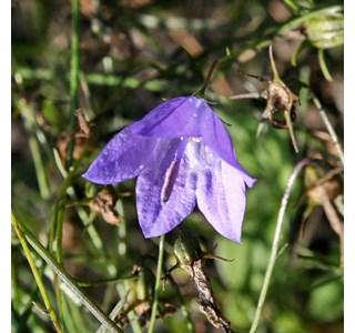 Campanula-rotundifolia-Globuli